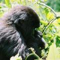 jeune femelle gorille.JPG